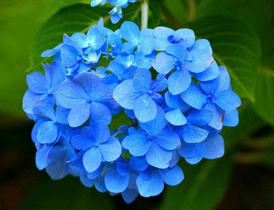 flor hortensia azul significado