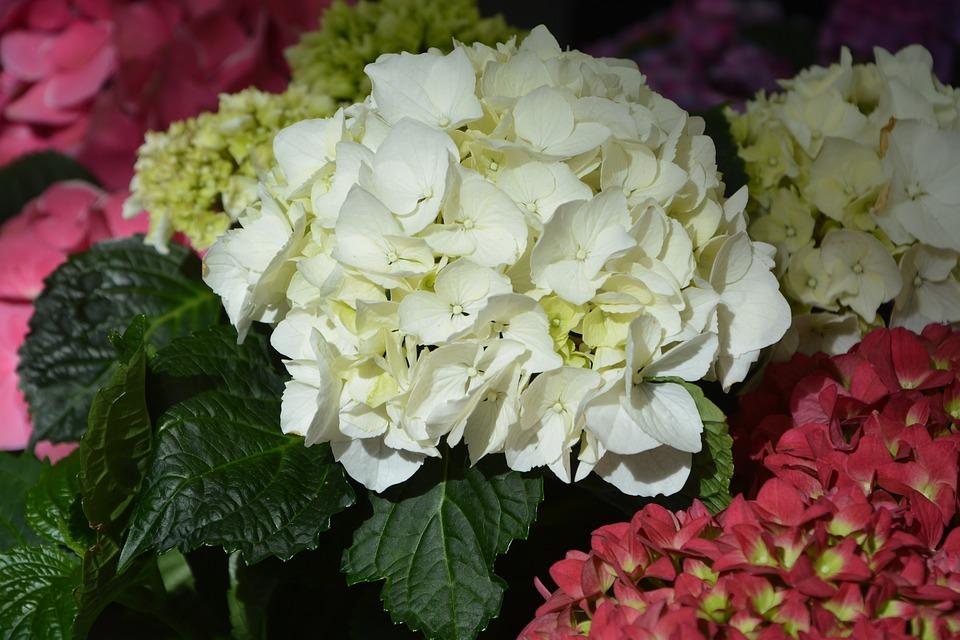 la flor hortensia es cara