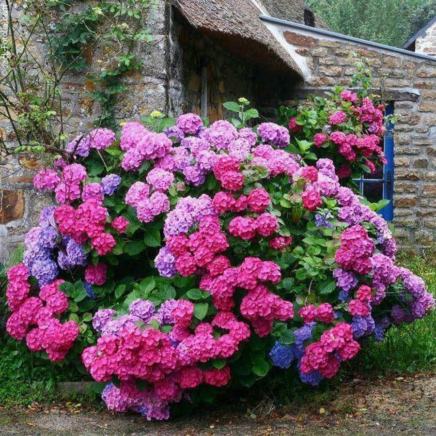 la flor hortensia en ingles