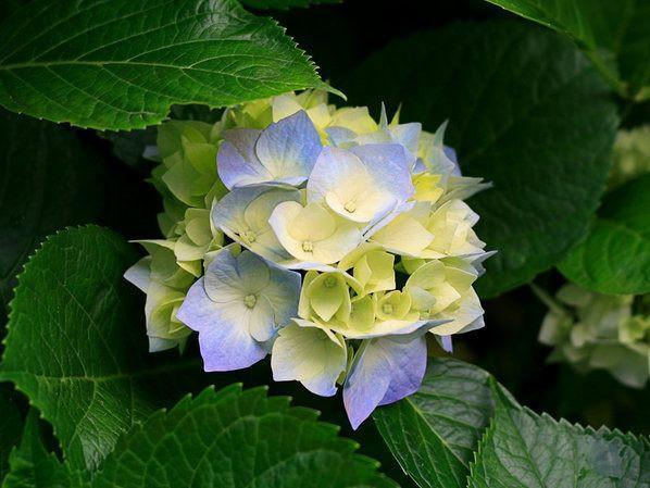 hortensia flor alucinogena