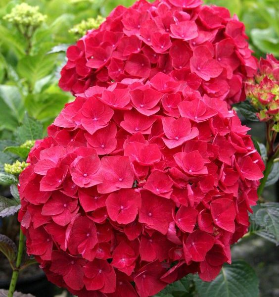 la flor hortensia es de sol o de sombra