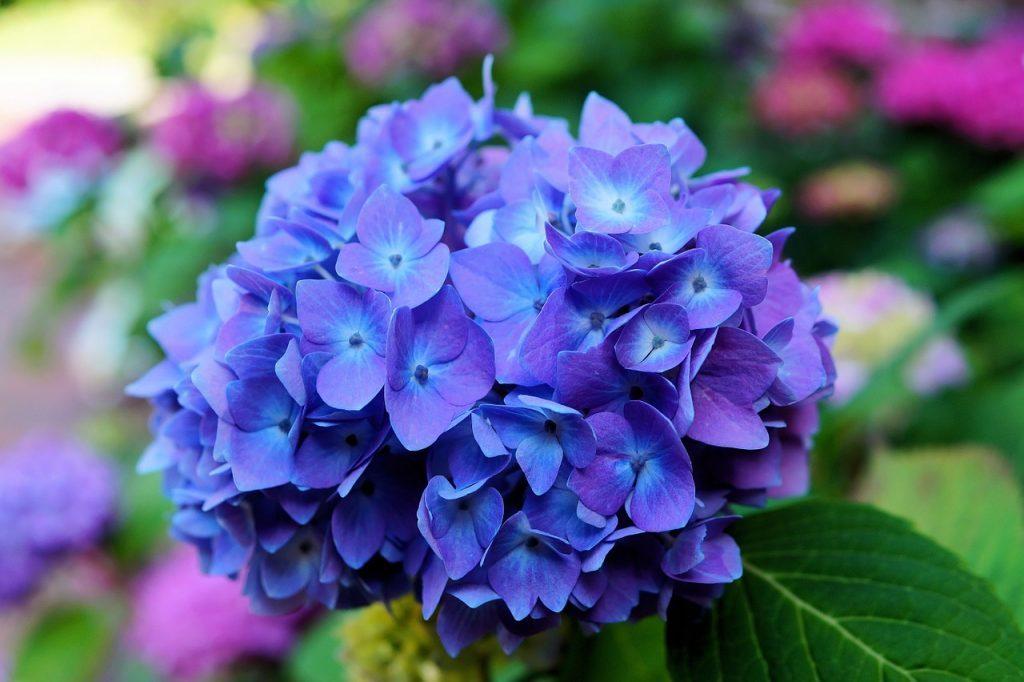 significado da flor hortensia azul