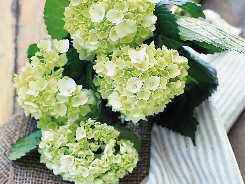 flor parecida a hortensia