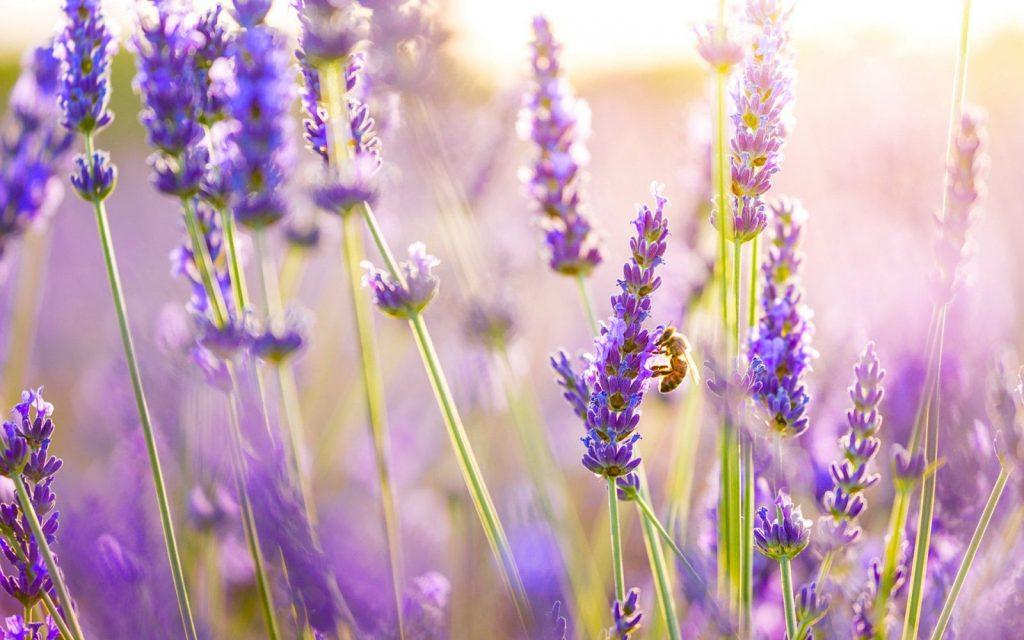 flores aromaticas lavanda