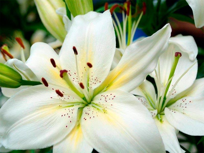 flor - ayame lirio japonés
