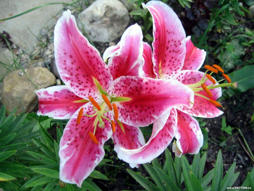 flor lirio a crochet