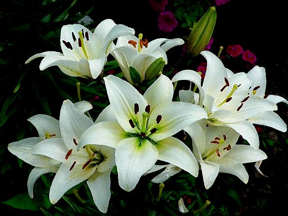 flor lirio blanco significado