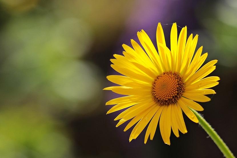 flor margarita amarilla significado