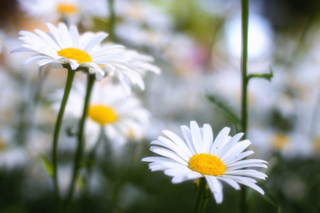 flor margarita a crochet