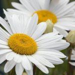 flor margarita a crochet paso a paso