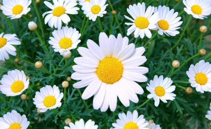 flor margarita amarilla wikipedia