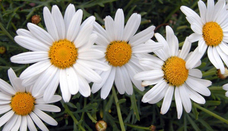 flor margarita alimentacion