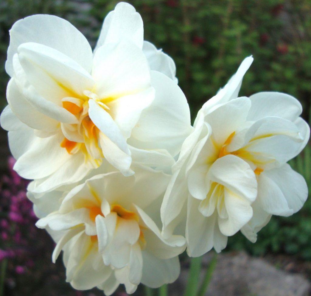 flor narciso blanco