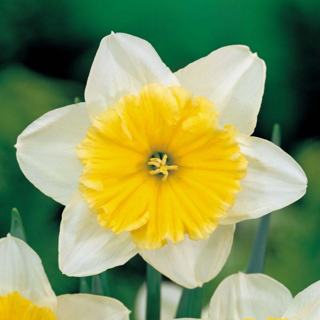 flor parecida al narciso