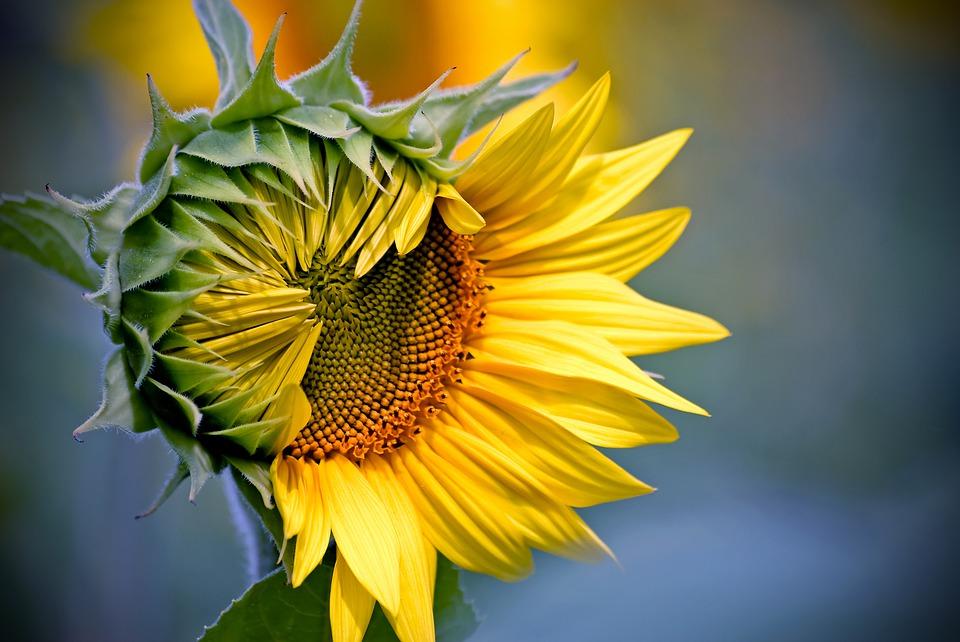 a flor girasol